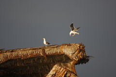 Great Black-backed Gull (Larus marinus). Adults in winter plumage, one landing on the wreck of the S.S. Atlantus, a concrete ship that beached off Sunset Beach Royalty Free Stock Images