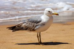 Great black-backed gull, Larus marinus, Royalty Free Stock Images