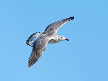 Great black-backed gull (Larus marinus) Royalty Free Stock Photo