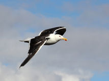 Great Black-backed Gull, Larus marinus, in flight Royalty Free Stock Photo