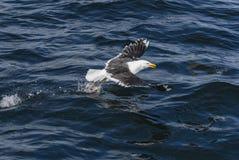 Great Black-backed Gull - Larus marinus royalty free stock images