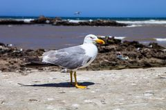Great black-backed gull, Larus marinus on the Moroccan coast Royalty Free Stock Photos