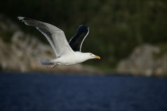 Great black-backed gull, Larus marinus Royalty Free Stock Image