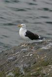 Great black-backed gull, Larus marinus Royalty Free Stock Image