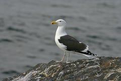 Great black-backed gull, Larus marinus Stock Photos