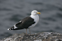 Great black-backed gull, Larus marinus Stock Images