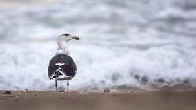 Great Black-backed Gull Stock Photo