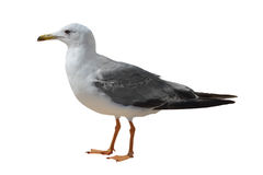 Great Black-backed Gull. & x28;Larus marinus& x29;on a white background stock photography