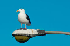 Great Black-backed Gull Stock Photos