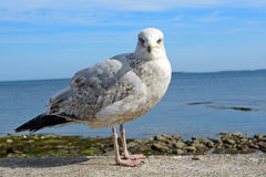 Great black-backed gull, Seahouses, England Stock Photo