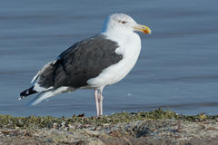 Great Black-backed Gull Stock Image