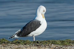 Great Black-backed Gull Royalty Free Stock Images