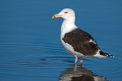 Great Black-Backed Gull. Standing in the water royalty free stock photos