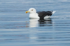 Great Black-backed Gull Stock Photography