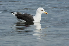 Great Black-backed Gull Royalty Free Stock Image