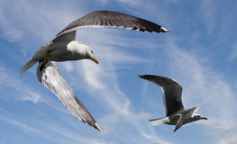 Great Black-backed Gulls. The Great Black-backed Gull flying at Skomer island in South Wales, UK Stock Photography
