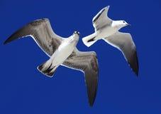 Great Black-backed Gulls. (Larus marinus Royalty Free Stock Images