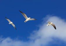 Great Black-backed Gulls. (Larus marinus Stock Photos