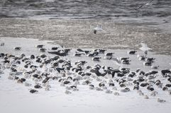Great Black-backed Gulls and Herring Gulls resting on an icy shore in Canada stock image