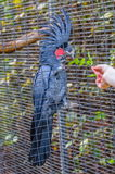 Great black cockatoo parrot sitting on a branch in Puerto de la Stock Image