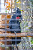 Great black cockatoo parrot sitting on a branch in Puerto de la Royalty Free Stock Images