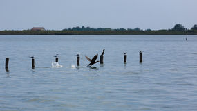 Great black cormorant Stock Images