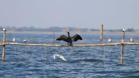 Great black cormorant Royalty Free Stock Photography