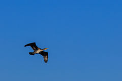 Great black cormorant Stock Photos
