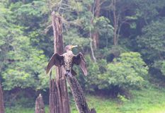Great Black Cormorant - Phalacrocorax Carbo - Sitting on Wood with Open Wings in Periyar National Park, Kerala, India. This is a photograph of Great Black Stock Images