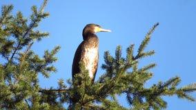 Great black cormorant in tree Royalty Free Stock Photos