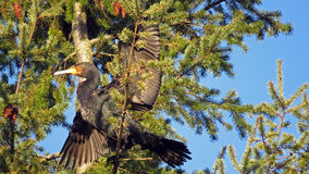 Great black cormorant in tree Royalty Free Stock Image