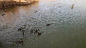 Great black cormorants diving for fish in danube delta.  stock footage