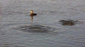 Great black cormorants diving for fish in danube delta.  stock video footage