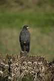Great black-hawk, Buteogallus urubitinga Stock Photo