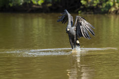 Great Black Hawk Fishing in River Stock Photography