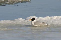 Great Black Headed Gull. (larus ichtyaetus) on ice Stock Image