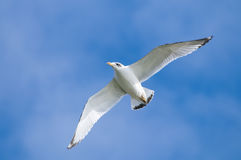 Great Black-headed Gull Royalty Free Stock Photography