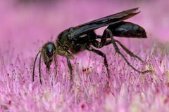 Great Black Wasp Stock Photography