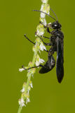 Great Black Wasp Royalty Free Stock Image