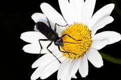 Great Black Wasp on a Daisy. A great black wasp searches for necter on a shasta daisy. The white petals stand out on the black background royalty free stock photo