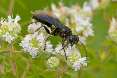 Great Black Wasp Stock Photo