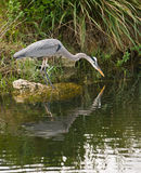 Great Blue Heron hunting for food Royalty Free Stock Image