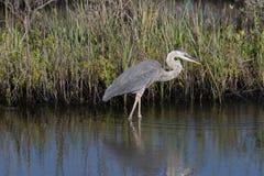 Free Great Blue Egret, Merritt Island National Wildlife Refuge, Flori Royalty Free Stock Image - 73359006