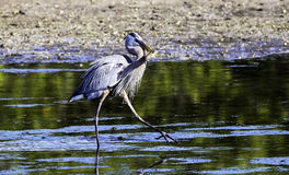 Great Blue Heon Feeding. Great Blue heron with a fish in his mouth with reflection in the water in a mangrove lake at Ding Darling Wildlife Refuge on Sanibel royalty free stock photo