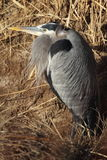 Great Blue Hernon. A Great Blue Heron fishing in a wetland in New Mexico Royalty Free Stock Photo
