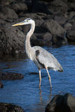 Great Blue Heron. The Great Blue Heron can often be seen along the coast of Galapagos Stock Image