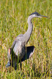 Great Blue Heron. A Great Blue Heron spreading his wings Stock Photos