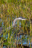 Great Blue Heron. A Great Blue Heron stalking his prey Stock Photography