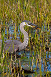 Great Blue Heron. A Great Blue Heron eating a Bowfin fish Stock Images