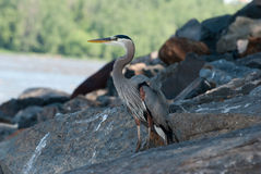 Great Blue Heron. Standing on boulders along the River Stock Photos